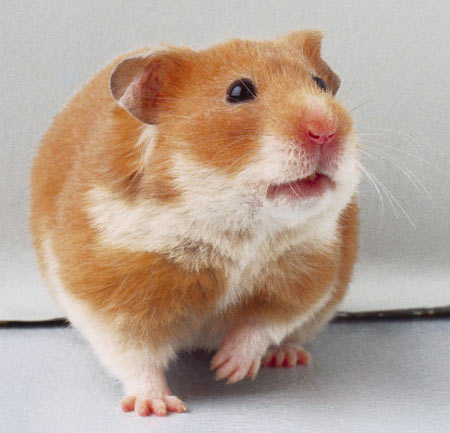 Long Hair Hamster. long-haired hamster,