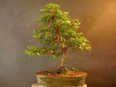 bonsai a partir de semillas: bonsai a partir de semillas