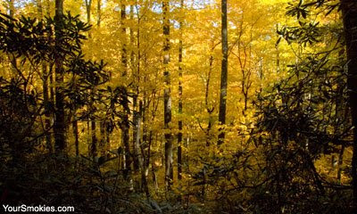 trees showing yellow fall colors in the Smoky Mountains