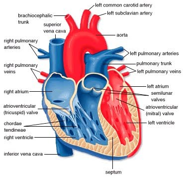 Human Cardiac And Respiratory Systems The Heart Structure And The
