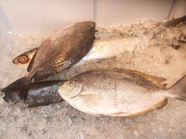 supplier ikan laut segar ikan baronang