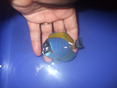 Baby Blue Tang | www.pixshark.com - Images Galleries With ...