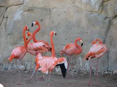 Mundomar, flamingo