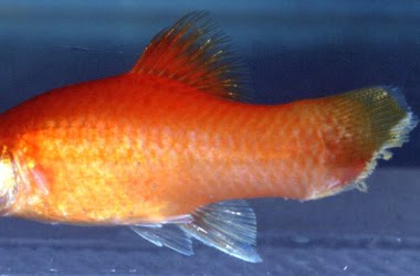 Manage your freshwater aquarium tropical fishes and for Fish tail rot