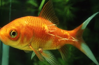 Manage your freshwater aquarium tropical fishes and for Koi fish parasites