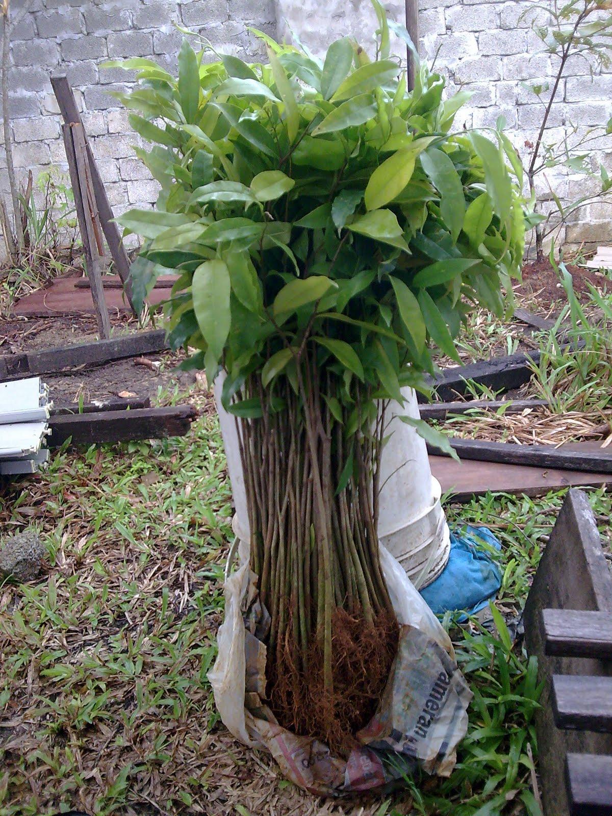 Pokok Gaharu Pokok Gaharu Subintegra