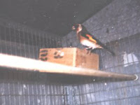 Cardellino e Fringuella nel nido