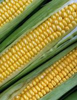 Polilaktyd - Polikwas mlekowy – PLA - z kukurydzy