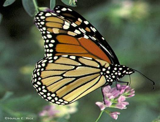 COMMON MONARCH BUTTERFLY