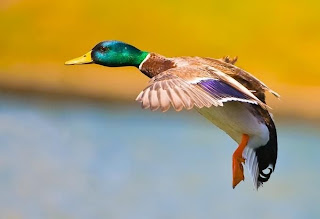 Aterragem de pato colorido