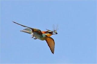 Pássaro caça libelinha