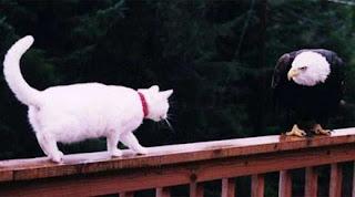 gato e aguia