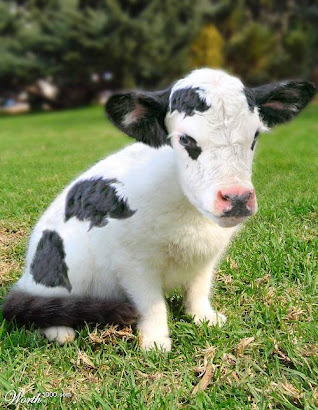 The Cow-Cat