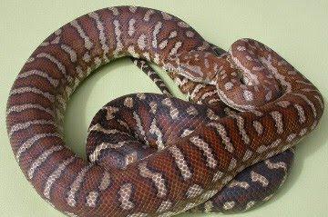 ... names : Bredl's python, Centralian python, Centrali