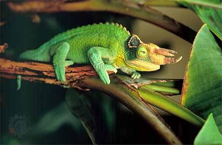 Reptiles Jackson Chameleon
