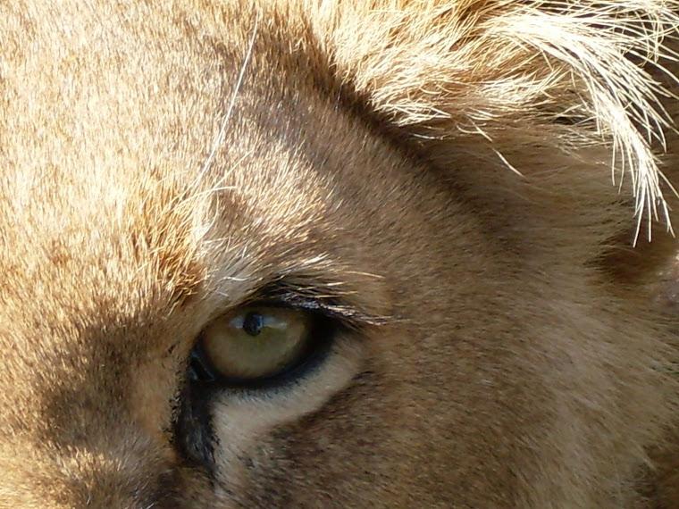 Une des lionnes