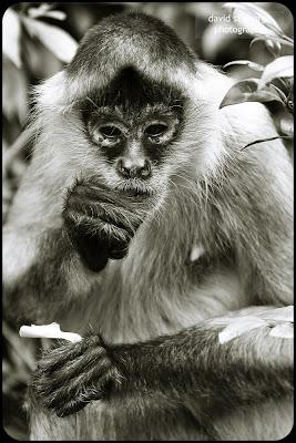 spider monkey auckland zoo