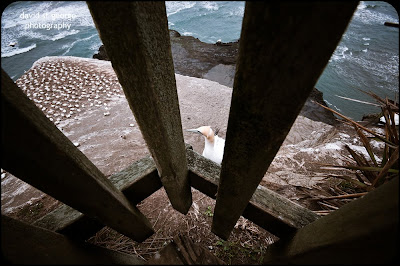 Gannet Muriwai New Zealand David St George Photography