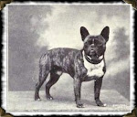 Bouledogue Franais