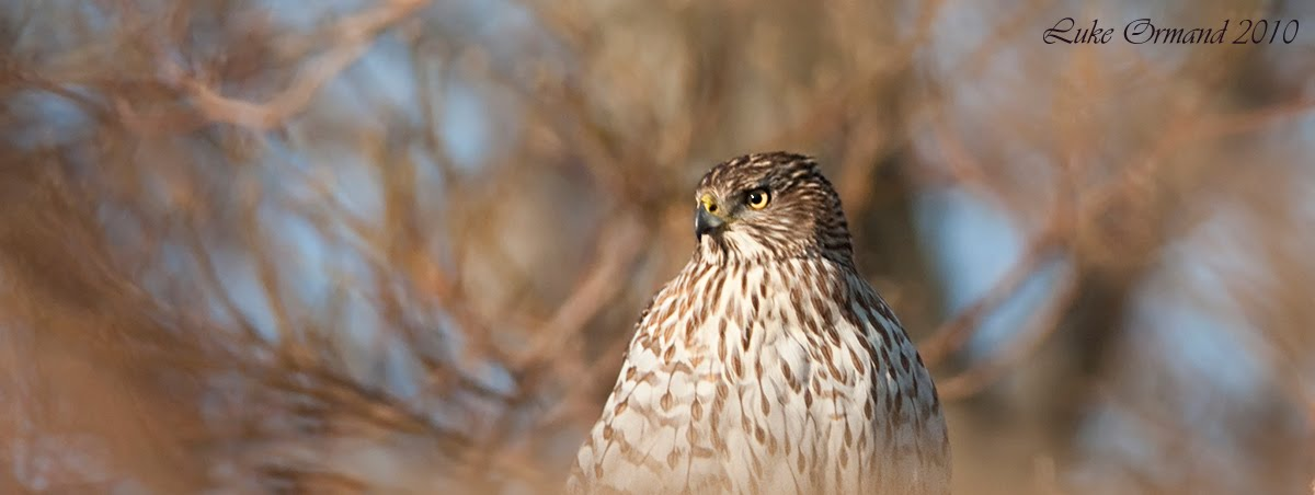 [Sharp+Shinned+Hawk+North+Fork+II.jpg]