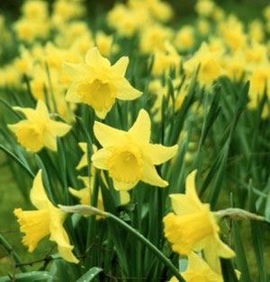 daffodils_04.jpg