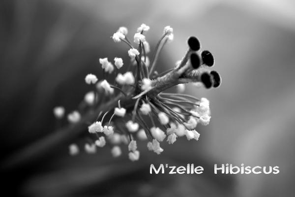 M'zelle Hibiscus