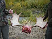 nice moose antlers