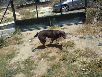 Mica - A cadelinha SRD mais meiga do mundo ;) Margem Sul Leao206+(1)