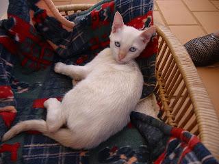 KAT - Gatinha branca nascida a 26 de Abril 09 para ADOPÇÃO 181-8155_IMG