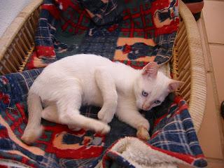 KAT - Gatinha branca nascida a 26 de Abril 09 para ADOPÇÃO 181-8157_IMG