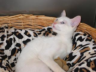 KAT - Gatinha branca nascida a 26 de Abril 09 para ADOPÇÃO 181-8163_IMG