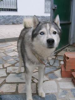 Bóris, Husky Siberiano, Macho, 9 anos, Margem Sul IMG_1287