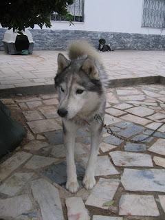 Bóris, Husky Siberiano, Macho, 9 anos, Margem Sul IMG_1294