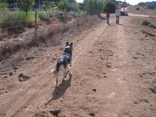 Alberto, cruzado de husky, 3 anos, Margem Sul Dovskapets+058