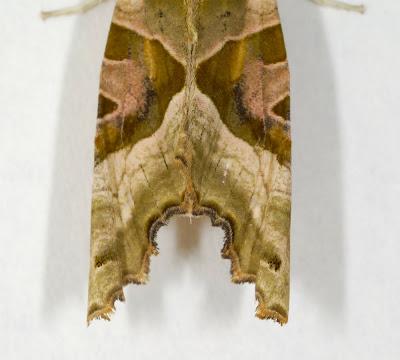 Angle Shades (Phlogophora meticulosa)