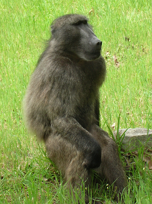 This is Old Bert, not Nadine... it took a lot for me to not shout OF COURSE THAT'S NOT NADINE HAVEN'T YOU EVER SEEN A FEMALE CHACMA BABOON BEFORE?!