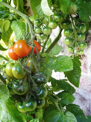 Red and green tomatoes growing in the garden