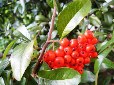 Red berries among dark green leaves