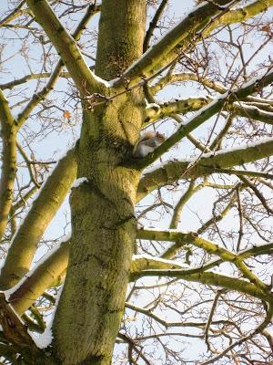 Squirrel in a snowy tree