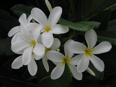 Champa Flowers (white-pulmeria)