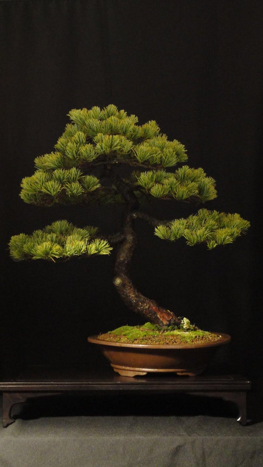 Bonsai Blog Of Sndor Papp PINUS PARVIFLORA MOYOGI