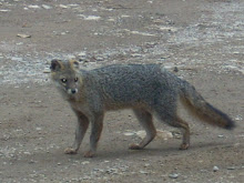Fox in Monteverde