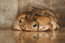 Fat Cane Toad