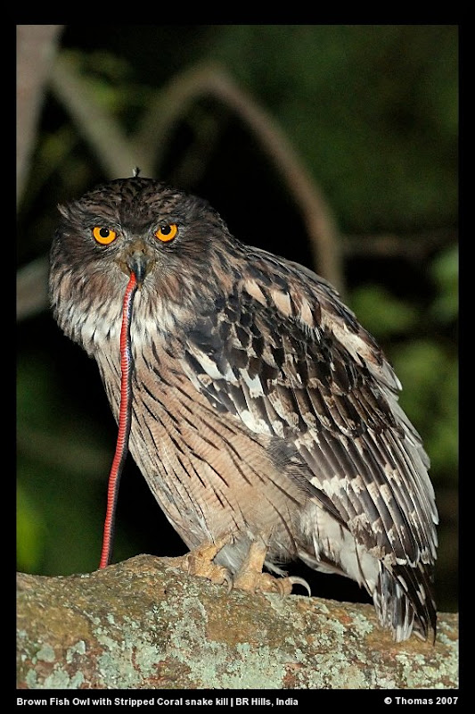 Strigformes: Famíla Strigidae- sub fam. Buteonidae. Género Ketupa (por vezes incluído em Bubo) Brown+Fish+Owl+3740