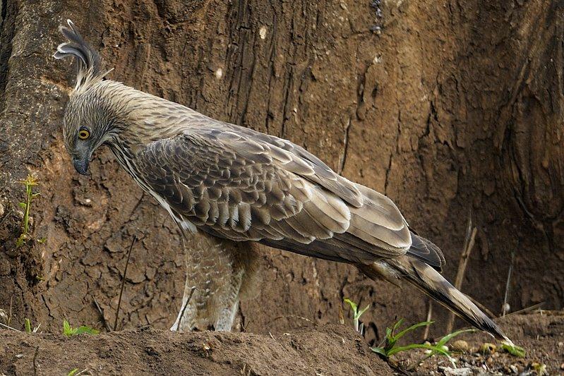 นกเหยี่ยวภูเขา Mountain Hawk - eagle CHE+0808
