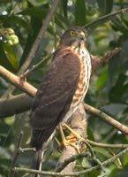 松雀鷹的圖片