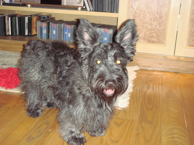 """Toffee ""- the Scottish Terrier"
