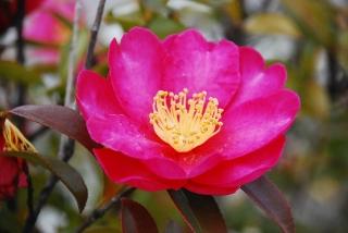 椿の花の写真