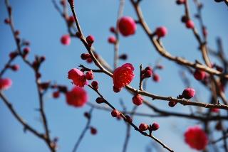 紅梅の写真