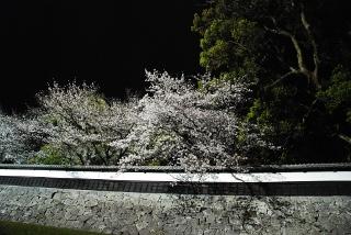 熊本城周辺の桜の写真
